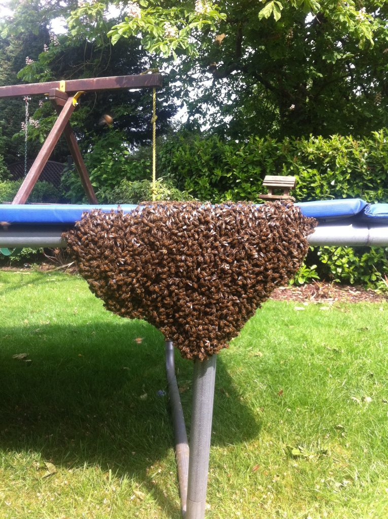 Honey bee swarm in a domestic garden