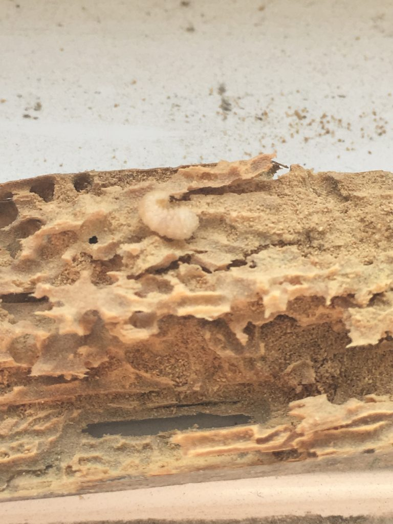 Woodworm Larva and damaged timber